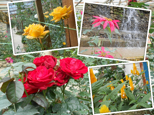 bunga rose centre cameron highlands Jalan jalan ke Tempat Menarik di Cameron Highlands