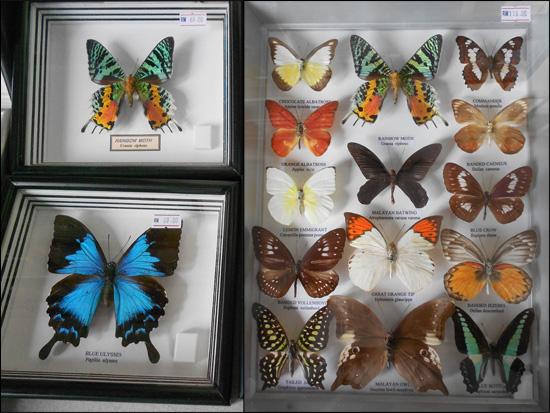 butterfly taman rama rama Jalan jalan ke Tempat Menarik di Cameron Highlands