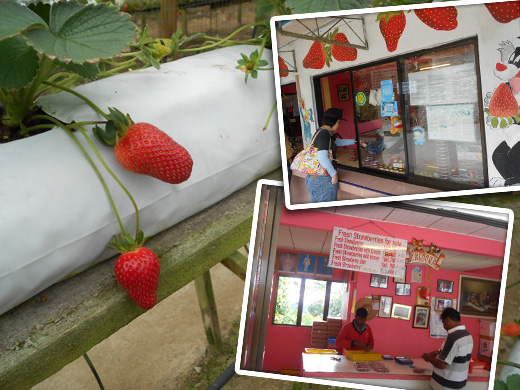 strawberry segar rajus hill strawberry farm Jalan jalan ke Tempat Menarik di Cameron Highlands