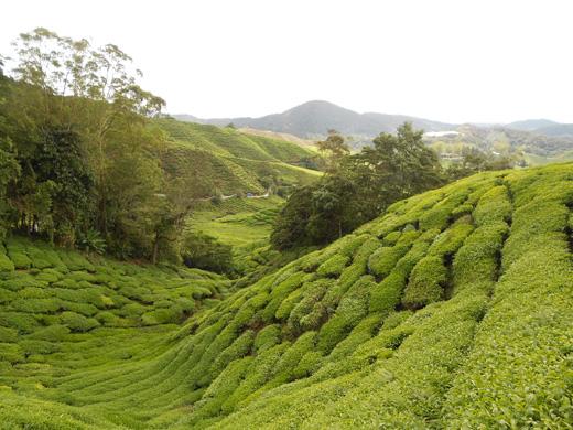 Cantiknya ladang teh BOH di Cameron Highlands