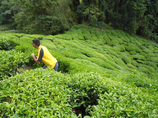 Melawat ladang teh BOH Sungei Palas