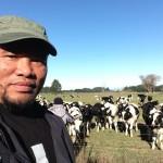 ladang lembu di New Zealand