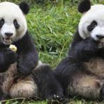 gambar panda Fu Wa dan Feng Yi