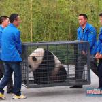 gambar Beruang panda akan diterbangkan dari China oleh MASkargo