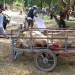 penduduk kampung mengangkut lembu ke kampung berdekatan