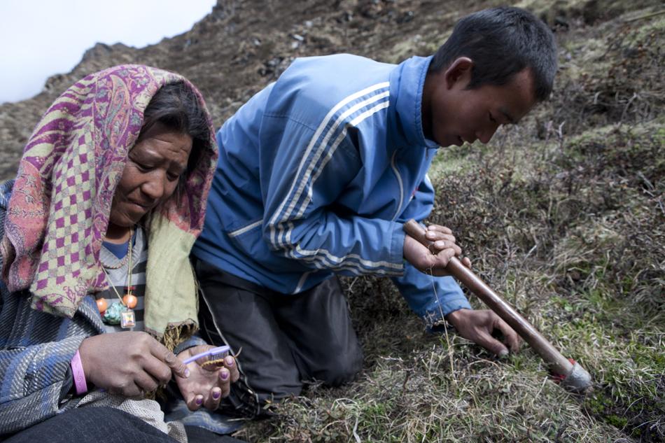 Pemburu cordyceps di Banjaran Himalaya