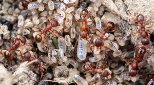 Semut merah berusaha bersungguh-sungguh